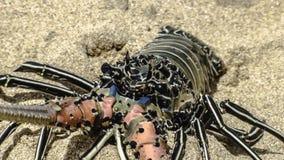 在明亮的颜色的新鲜的龙虾在沙子 库存照片
