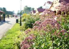 在日落的领域淡紫色花在城市公园 库存图片