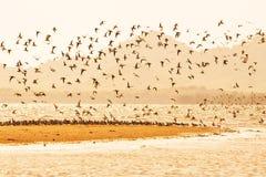 在日落,飞行在含沙的水鸟群的水鸟迁移在海 时数横向季节冬天 Libong海岛,董里府, 库存照片