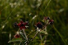 在早晨夏天太阳的闪烁的Comarum紫色花在沼泽草丛林的  库存图片