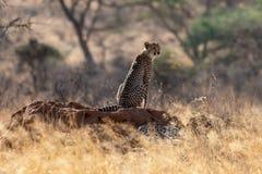 在早晨光的猎豹在马塞人玛拉,肯尼亚,非洲的平原 库存图片