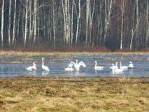 在洪水区域,立陶宛的白色天鹅 免版税库存照片