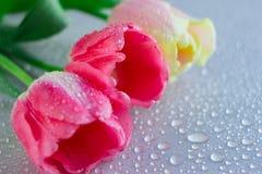 在灰色中立背景的桃红色郁金香花与waterdrops 复制空间 妇女,母亲,华伦泰 图库摄影