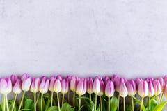 在灰色背景准备和隔绝的紫罗兰色郁金香 免版税库存图片