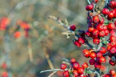 在灌木有一点烘干的红色莓果 荧光 银色buffaloberry,Shepherdia argentea 免版税图库摄影