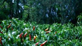 在灌木的红色和绿色辣子果子在农田 股票录像