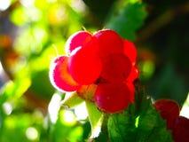 在灌木的红色成熟莓 新鲜的有机莓果特写镜头与绿色的在莓藤茎离开 免版税库存图片