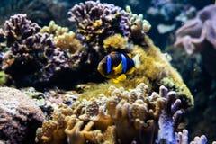 在珊瑚礁的橙色clownfish游泳 库存照片