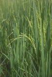在稻田门的米五谷 免版税图库摄影