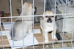 在篱芭后的两只米黄小狗在避难所 免版税库存图片
