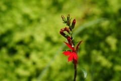 在红色的美丽的红花山梗菜 免版税库存图片
