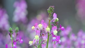 在绽放的特写镜头紫色羽扇豆在日出 影视素材