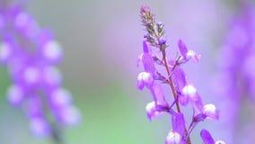 在绽放的特写镜头紫色羽扇豆在日出 股票视频
