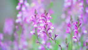 在绽放的特写镜头紫色羽扇豆在日出 股票录像