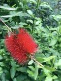 在绿色叶子背景的大红色Callistemon花  库存照片