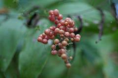 在绿色植物的被察觉的红色莓果 图库摄影