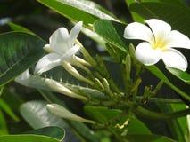 在绿色背景,斯里兰卡的白花 免版税库存图片