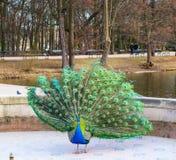 在皇家浴的美丽和五颜六色的孔雀停放瓦金基公园 华沙,波兰 免版税库存图片