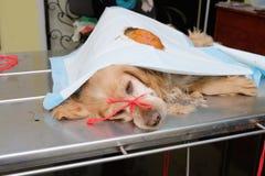 在狗的腿的大血肿肿瘤 与一定的嘴的红色西班牙猎狗在麻醉下 免版税库存照片