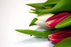 在白色背景的特写镜头红色和白色郁金香按钮 礼物的概念,生气勃勃,情人节,国际妇女的天, 图库摄影