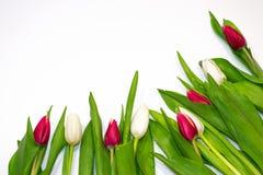 在白色背景的特写镜头红色和白色郁金香按钮 礼物的概念,生气勃勃,情人节,国际妇女的天, 免版税库存图片