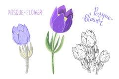 在白色背景隔绝的小白头翁 四季不断的毒开花植物植物的图画使用了  库存例证