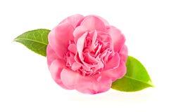 在白色背景隔绝的桃红色山茶花花 图库摄影