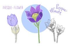 在白色背景隔绝的白头翁 四季不断的毒开花植物植物的图画使用了  皇族释放例证