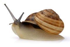 在白色隔绝的蜗牛爬行 库存图片