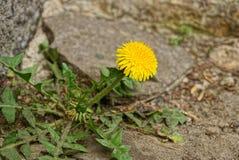 在生长在灰色石头中的绿色茎的黄色开花的蒲公英 图库摄影