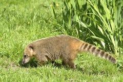 在草的尾部有环纹的浣熊 库存图片