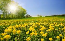 在草甸的开花的蒲公英 免版税库存图片