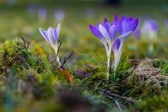 在草甸的紫色番红花 免版税图库摄影