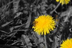 在草甸的黑白色黄色花 免版税库存图片