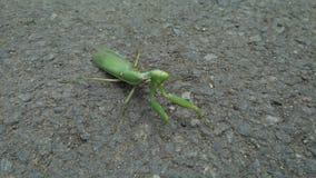 在街道上的绿色螳螂 迷离或被弄脏的背景 库存照片
