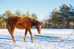 在训练的公马在阅兵场的冬天 免版税库存图片