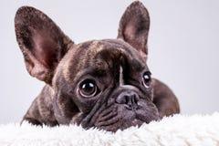 在说谎的位置的布朗法国牛头犬 免版税图库摄影