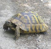 在路的乌龟在森林神秘主义者和明智的动物 免版税库存照片