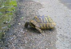 在路的乌龟在森林神秘主义者和明智的动物 免版税库存图片