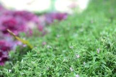 在花床上的serissa紫罗兰色花紫色 图库摄影