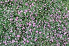 在花床上的serissa紫罗兰色花紫色 库存图片
