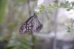 在花的特写镜头蝴蝶在庭院里;共同的老虎蝴蝶,黑脉金斑蝶 图库摄影
