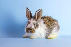 在蓝色背景的活泼的矮小的逗人喜爱的兔子 图库摄影