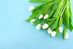 在蓝色背景的白色柔和的郁金香 假日春天概念,国际妇女天,母亲节,顶视图 免版税库存图片