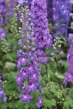在自然植被气氛的一个共同的毛地黄属植物花 库存图片