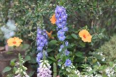 在自然植被气氛的共同的毛地黄属植物花 库存照片