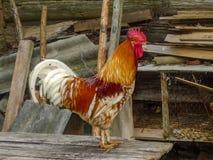 在自然背景的美丽的颜色雄鸡 在老谷仓的背景的美丽的土气雄鸡 国内公鸡关闭 免版税库存照片