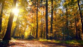 在自行车上在秋天在晴朗的森林里 股票视频
