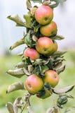 在苹果成熟可口水多的apples_分支  库存图片