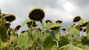 在领域的向日葵,摇摆在风 特写镜头 美好的领域用向日葵在夏天 股票视频